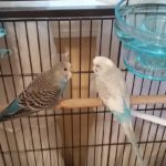 New Budgies Parakeets