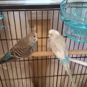 New Budgies Parakeets